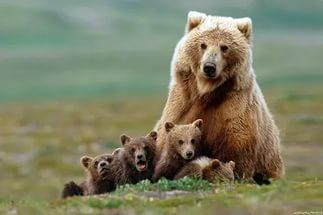 На Аляске сняли, как медведица учила переходить детёнышей дорогу