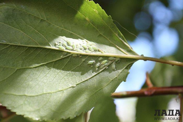 Ужас! В Актау листья деревьев поражены насекомыми. ФОТО