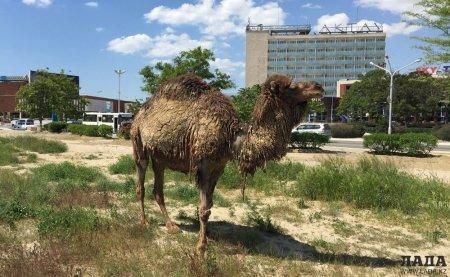 Путешествие верблюда из 26 мкр  до Акботы ВИДЕО