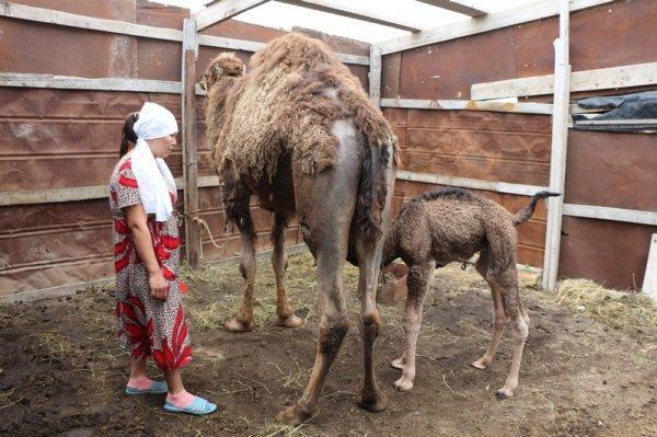 Родившегося в парке «Акбота» верблюжонка назвали Актау