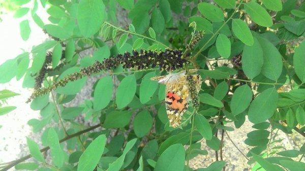 Марзия Мухашева: Неожиданное количество порхающих бабочек в Актау не представляет опасности для человека