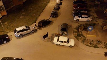 Переходящая улицу по пешеходному переходу корова удивила алматинцев