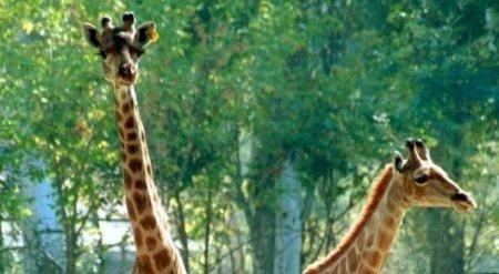 Определен круг виновных лиц в смерти жирафа в зоопарке Алматы
