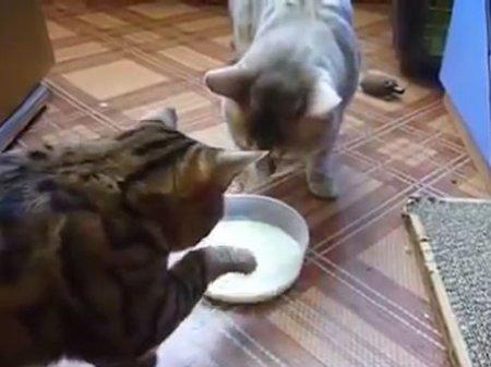 Борьба котов за миску с молоком свела с ума пользователей Сети