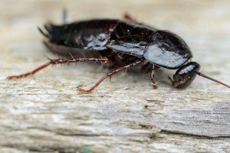 Учёные выяснили, какая у тараканов миссия на Земле