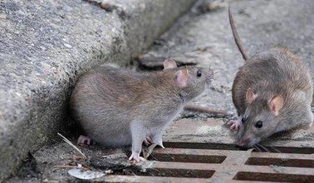 Крысы заполонили дворы и улицы городов Казахстана