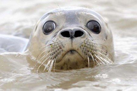 Причиной гибели тюленей мог быть вирус