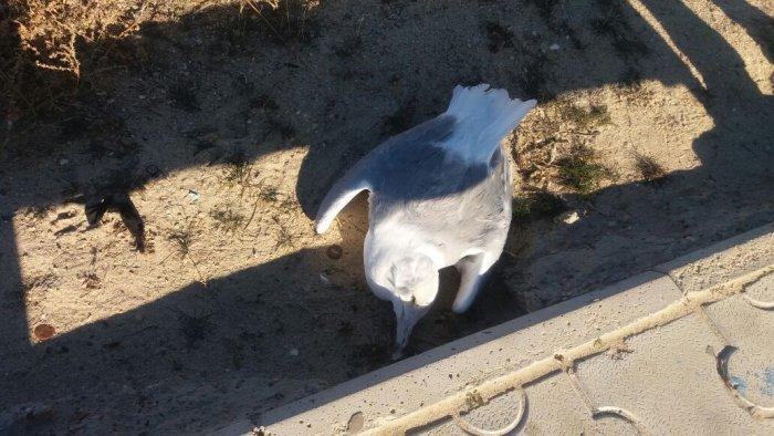 Житель Актау сообщил о найденных на набережной 1 микрорайона мертвых чайках