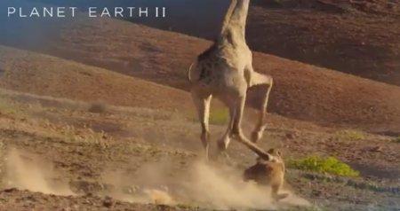 Телеканал BBC снял на видео, как жираф дал копытом по морде львицы