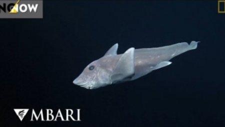 Редкую акулу-призрака показали на видео