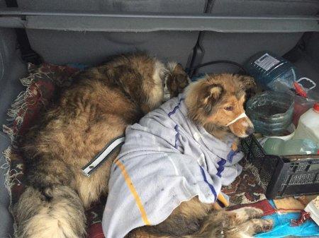 Пес два дня ложился под поезд, защищая другую раненую собаку